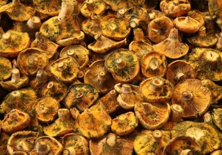 Lactarius deliciosus_65